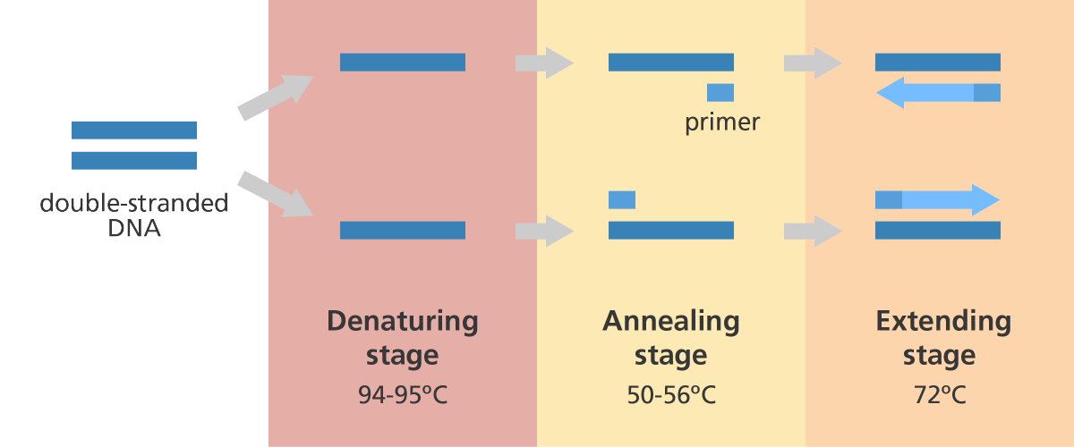 What is PCR polymerase chain reaction